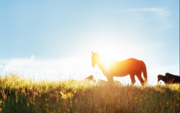 Horse in field at sunset